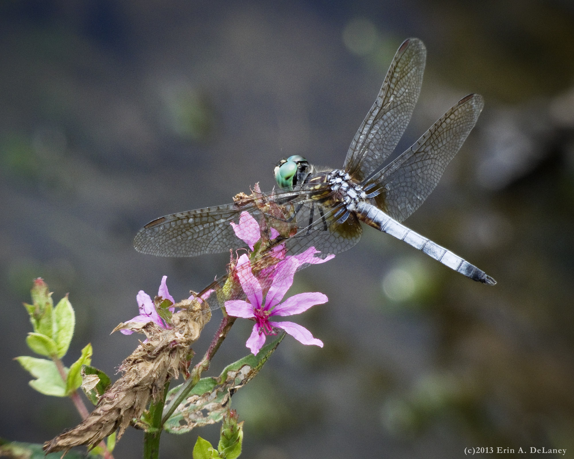 Blue Dasher Dragonfly on Purple Loosestrife, 2013