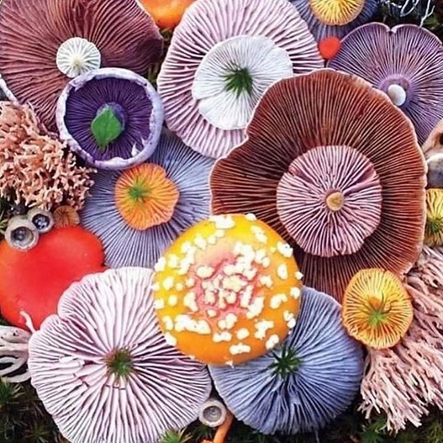 🌈 🍄 🍄 🍄 by @jill_bliss via @botanicaetcetera  #mushrooms #magicmushroom #veganart #neverleather #neverfur #colorsplash #veggie @fruitenveg