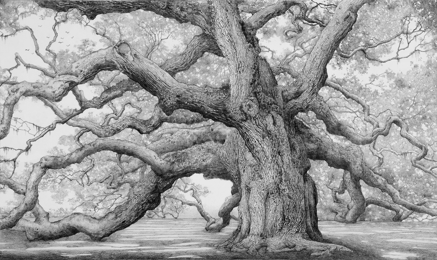 Charles Brindley, The Angel Oak / Graphite on paper / 16×26 inches /2010