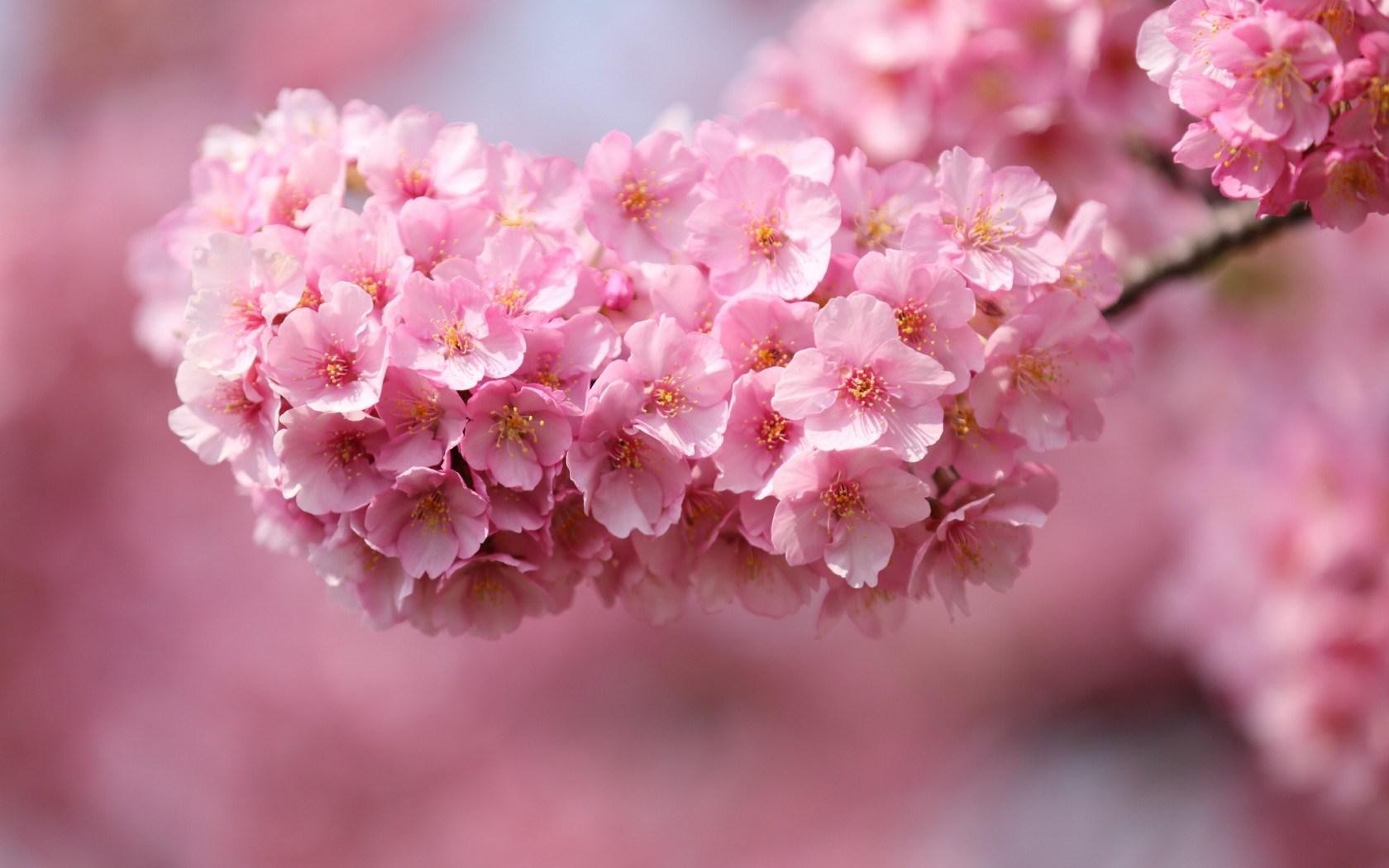 6905714-cherry-flowers-pink-petals-twigs-close-up.jpg
