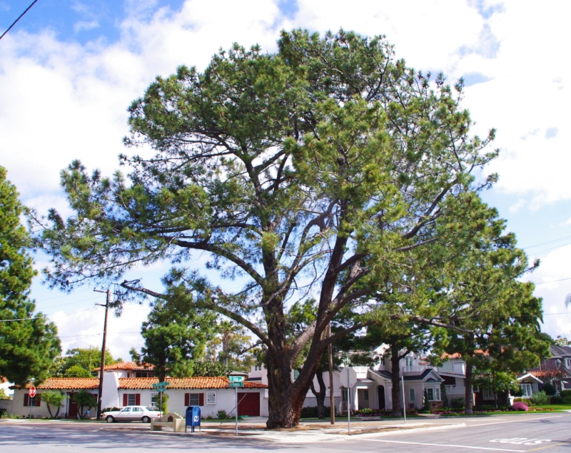 A  heritage Torrey pine  in San Diego Harbor's Coronado Island.