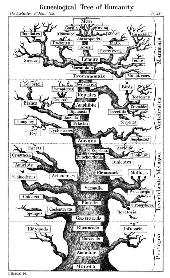 Zoological tree