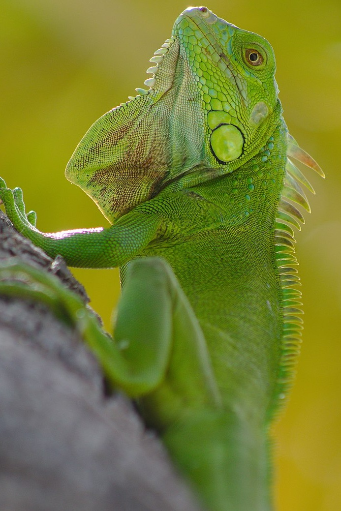 Green iguana in South Beach, Miami. | Source:  Wikimedia Commons