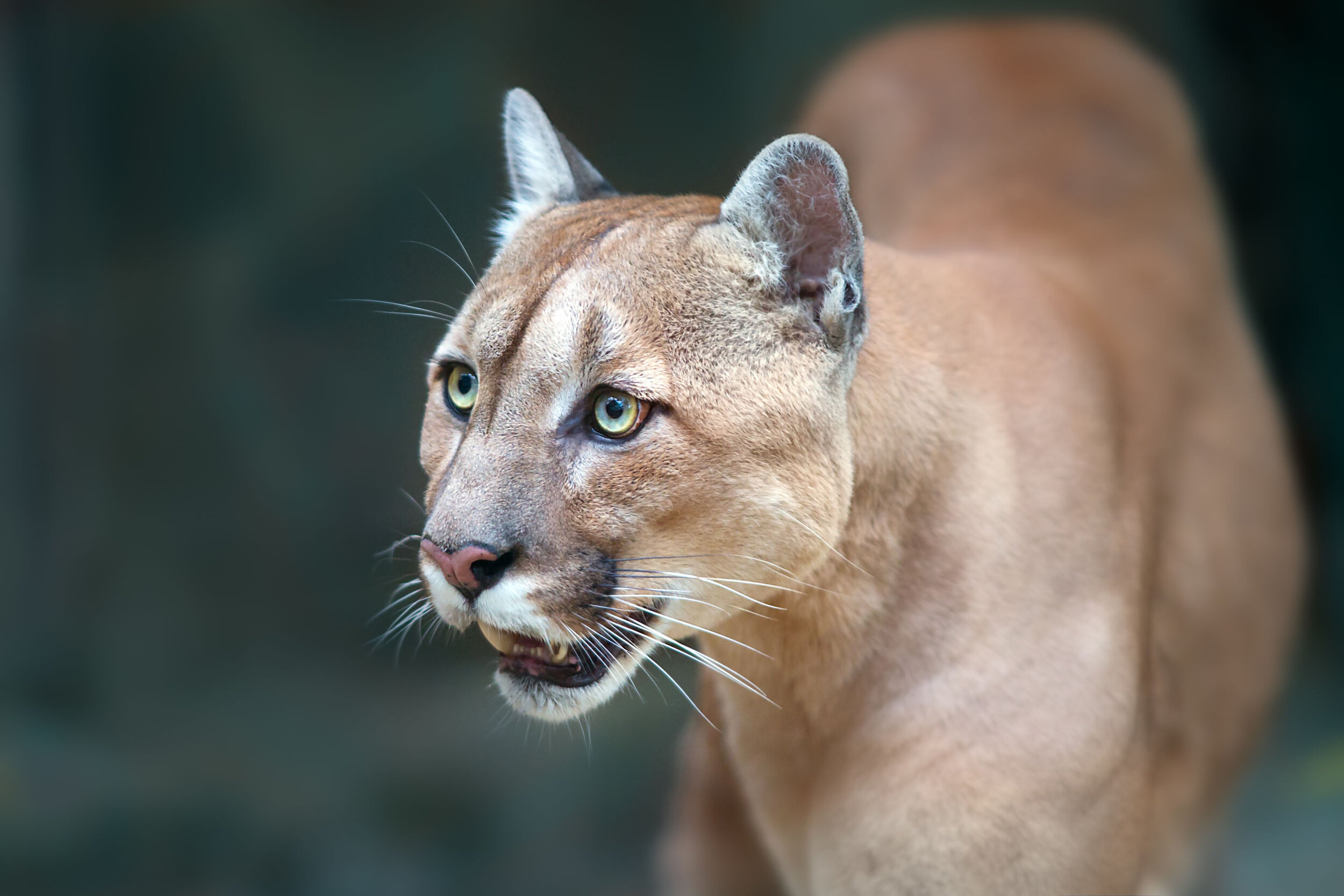 11: Cougars are the biggest cats who purr and meow.  https://youtu.be/BXhfZRE08ko
