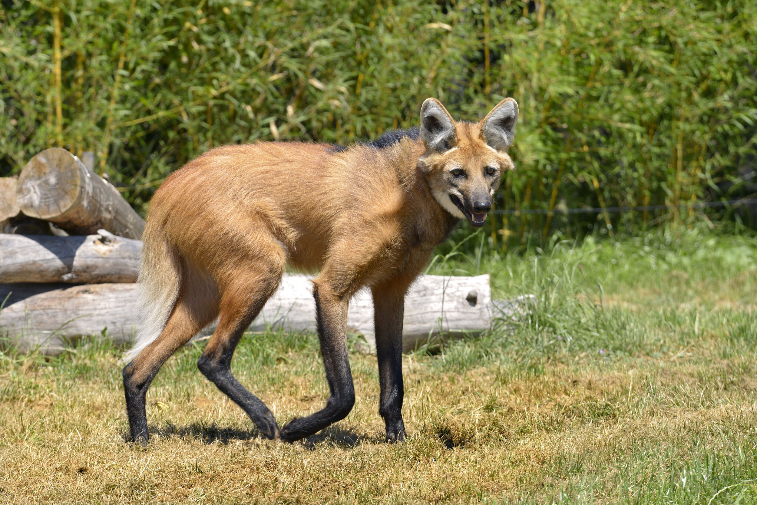 32: The maned wolf isn't a fox or a wolf.  https://www.youtube.com/watch?v=XSQ_ajl3cvE