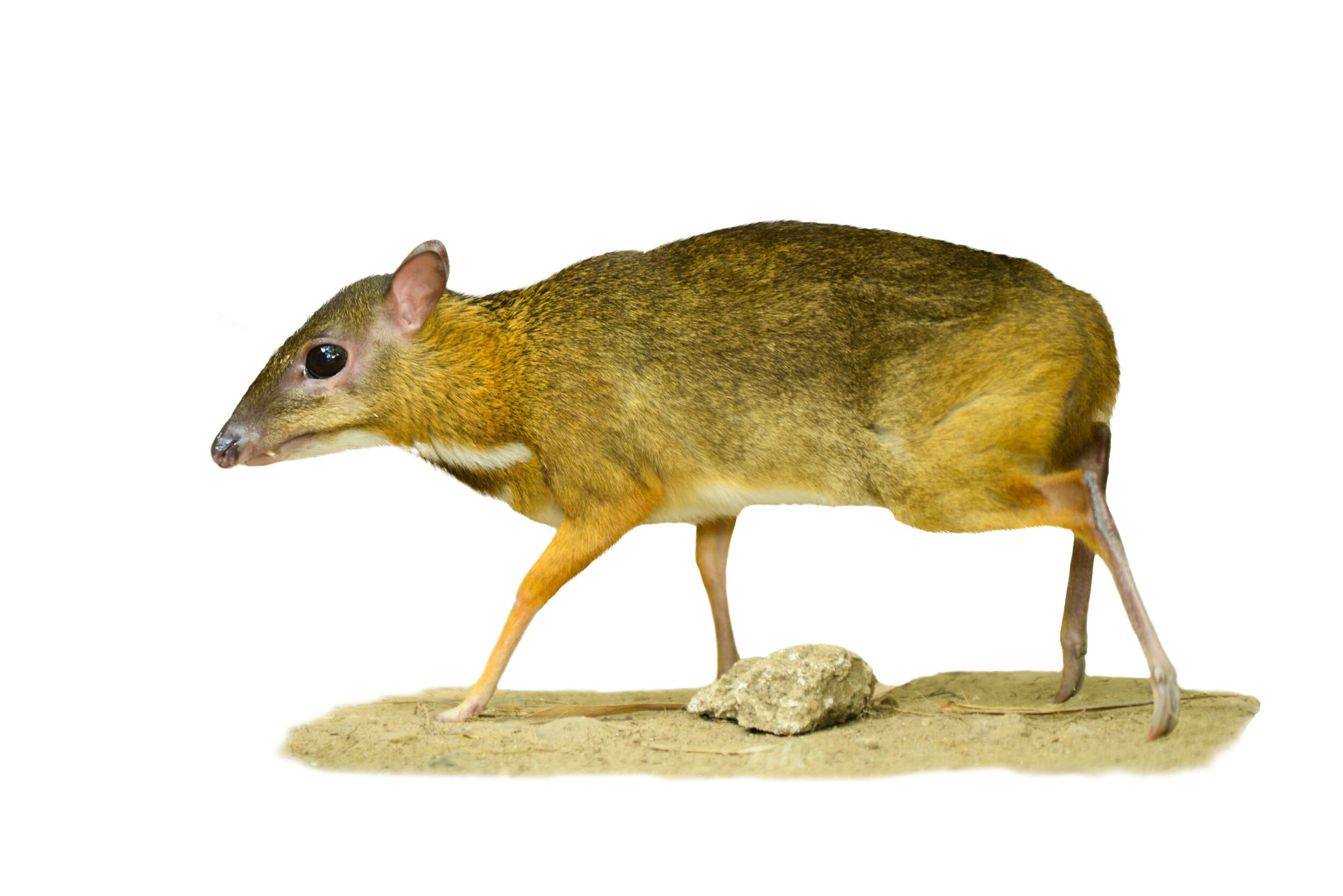 38: The chevrotain or lesser mouse deer looks like a tiny deer with fangs:  https://www.youtube.com/watch?v=uKLoaU0f3jU