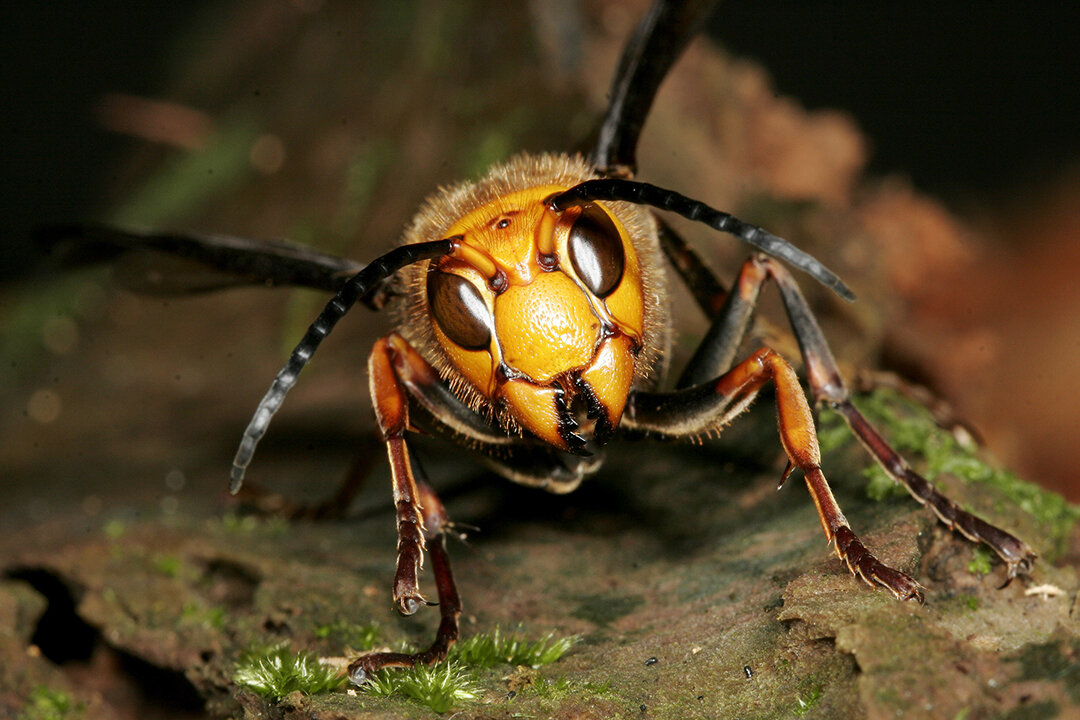 57: The Japanese giant hornet's venom is so powerful that it can actually dissolve human flesh:  https://www.youtube.com/watch?v=i7VMcMJBjD4