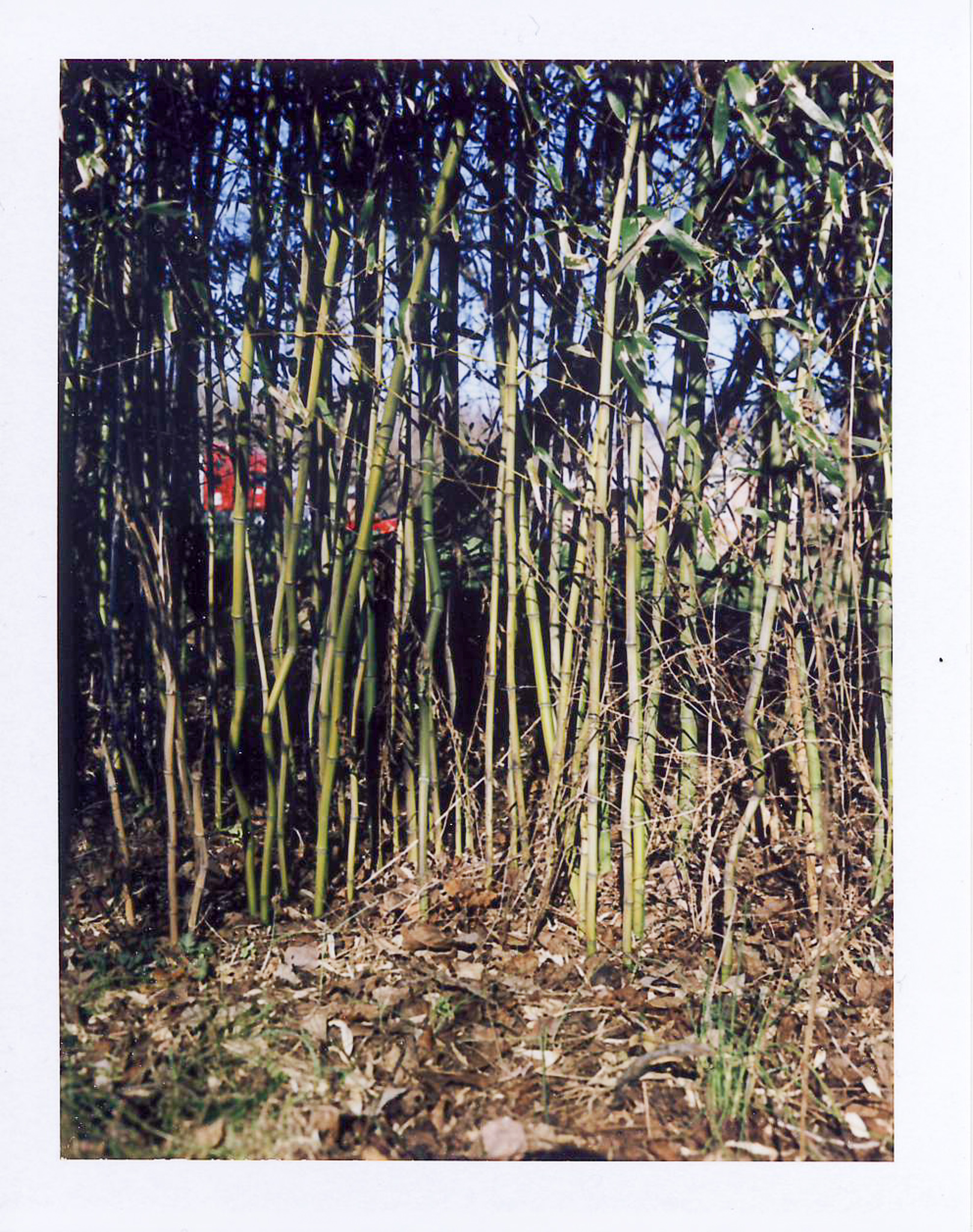 105 Bamboo.jpg