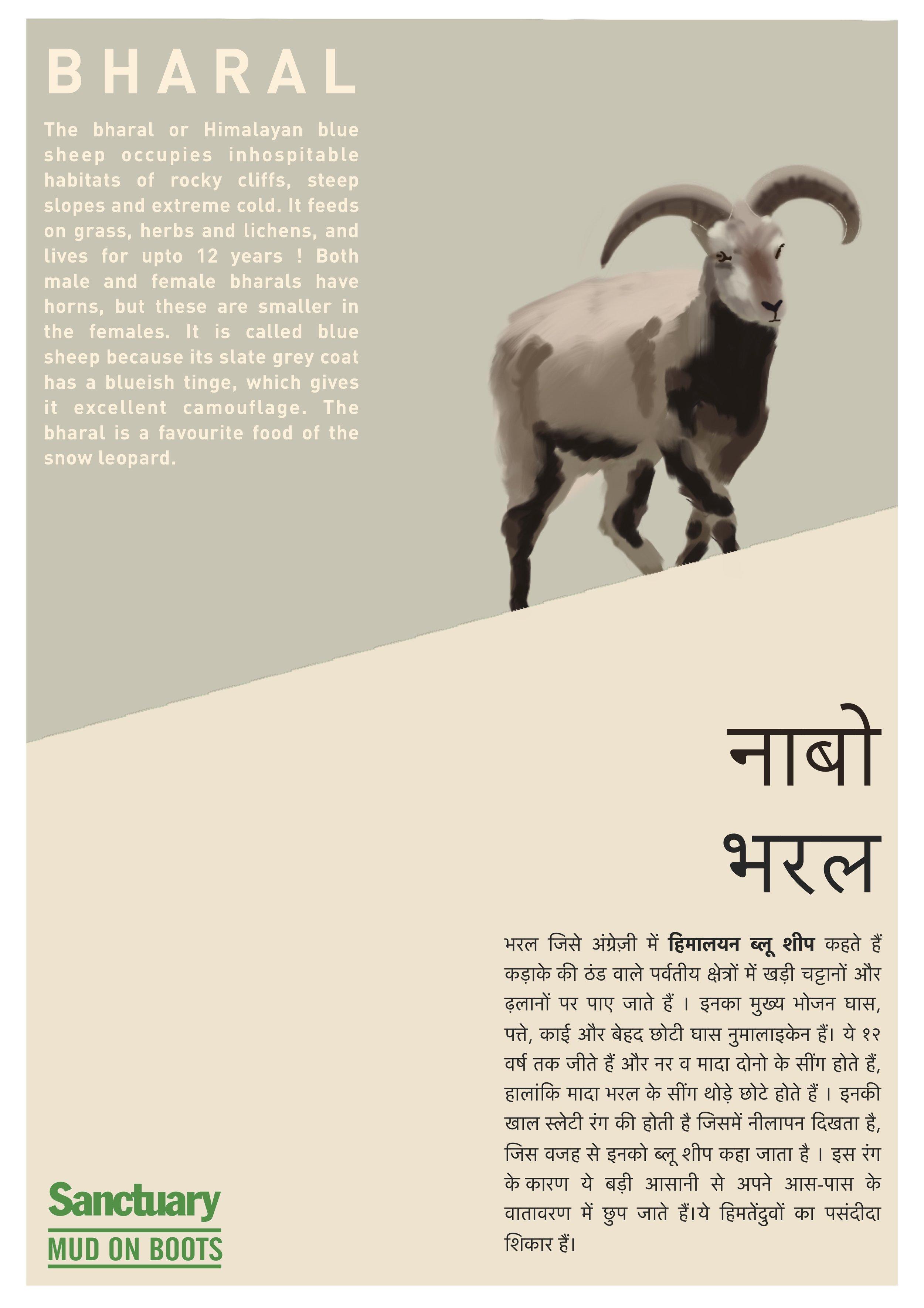 bharal.jpg