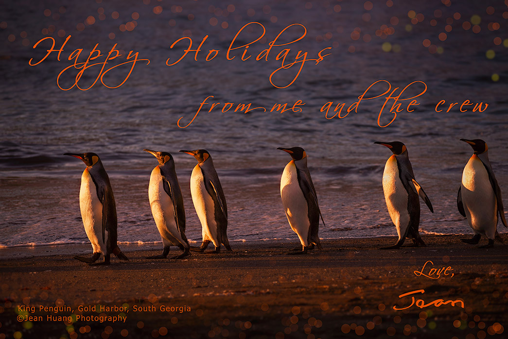 King-Penguins-Gold-Harbor-South-Georgia-Copyright-Jean-Huang-Photography