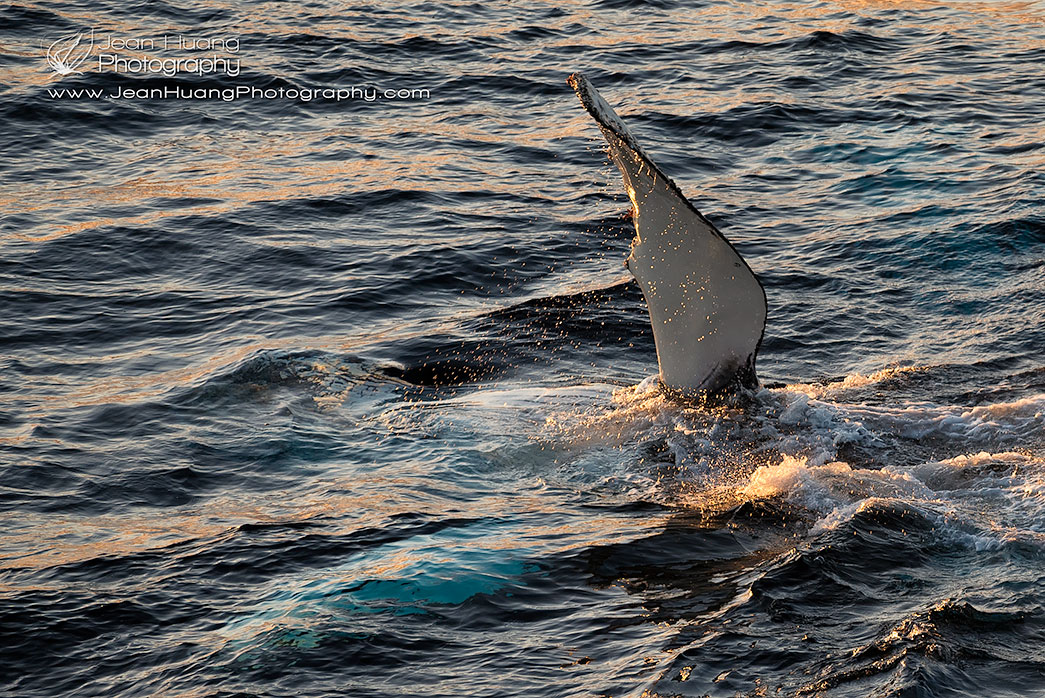 Humpback-Whale-Waving-Pectoral-Fin-Antarctica-Copyright-Jean-Huang-Photography