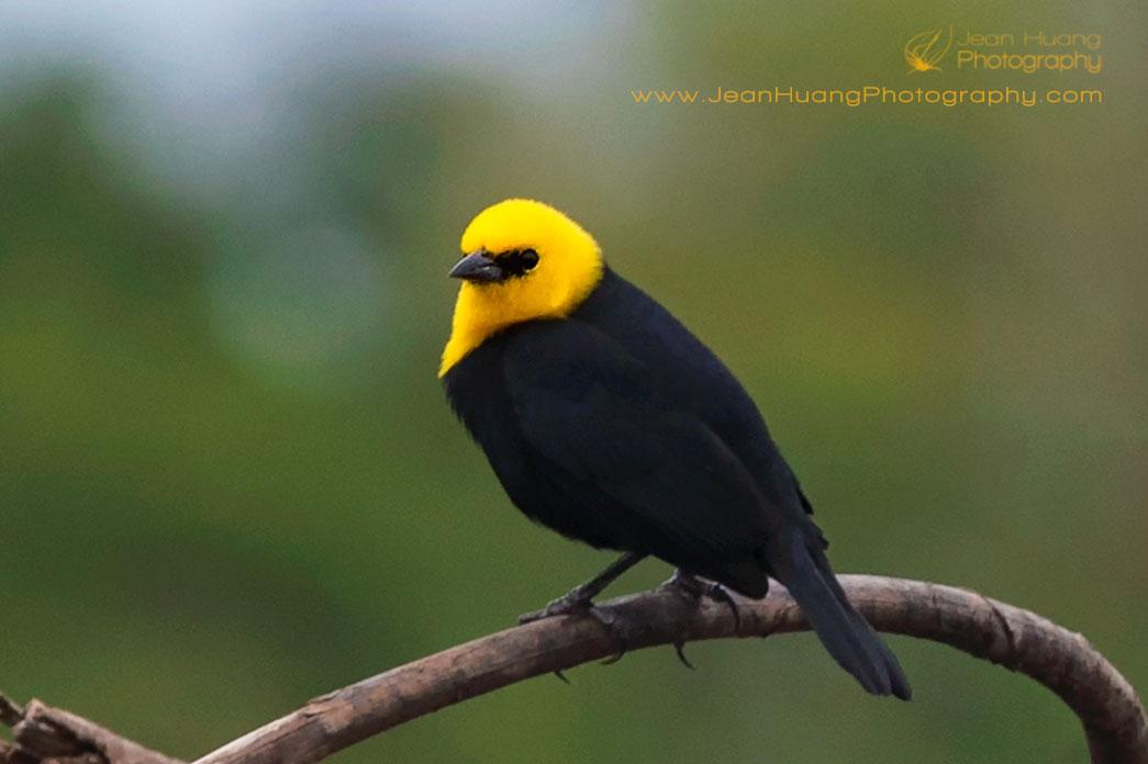 Yellow-Hooded-Blackbird-Marayali-Creek-Amazon-Peru-Copyright-Jean-Huang-Photography