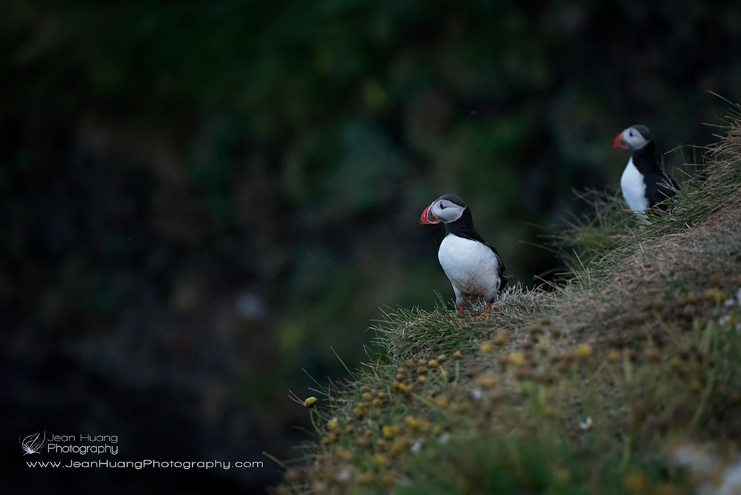 Atlantic-Puffin-Early-Evening-Dyrholaey-Iceland-Copyright-Jean-Huang-Photography