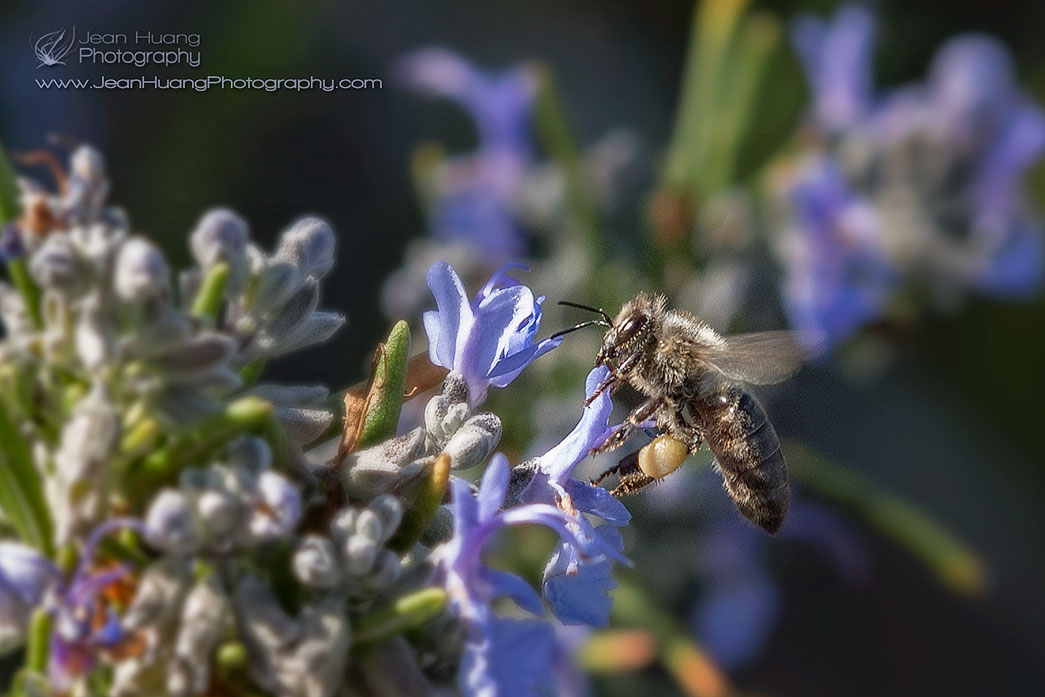 Honey-Bee-on-Rosemary-Flowers-with-Pollen-Sac-Copyright-Jean-Huang-Photography.jpg