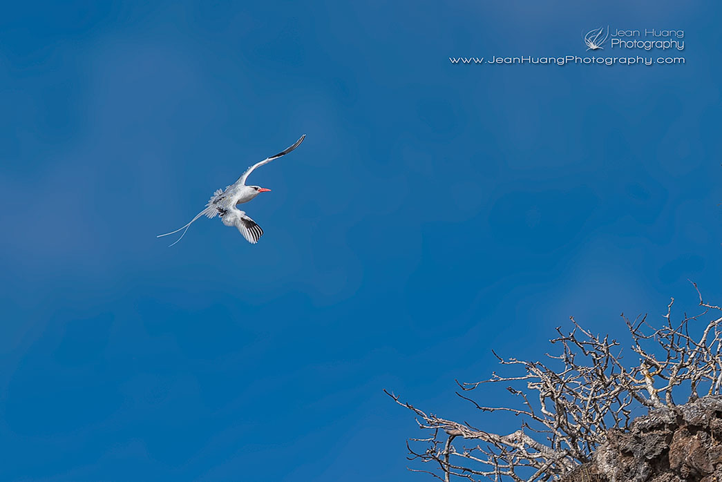 Red-Billed-Tropicbird-Flying-Back-to-Cliff-Prince-Phillips-Steps-Galapagos-Copyright-Jean-Huang-Photography