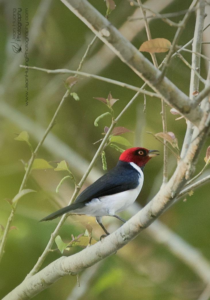 Red-Capped-Cardinal-Yanallpa-Cano-Amazon-Peru-Copyright-Jean-Huang-Photography
