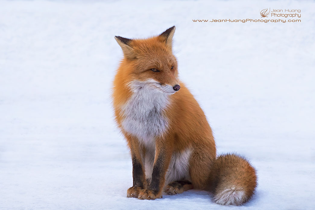 Ezo-Red-Fox-Giving-the Side-Eye-Lake-Kussharo-Hokkaido-Japan-Copyright-Jean-Huang-Photography