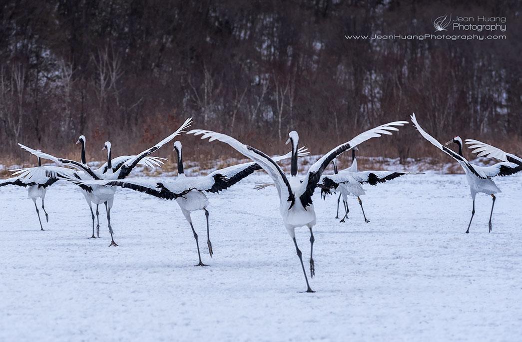 Red-Crowned-Crane-Performing-Swan-Lake-Kushiro-Hokkaido-Japan-Copyright-Jean-Huang-Photography