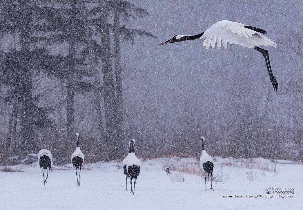 Red-Crowned-Crane-Landing-in-Snow-Kushiro-Hokkaido-Japan-Copyright-Jean-Huang-Photography
