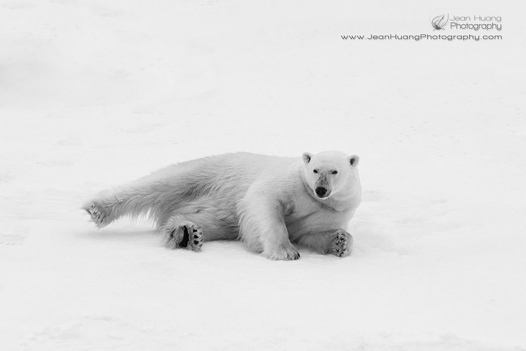 Sexy-Pose-Polar-Bear-Laying-Hell-Gate-Canada-Copyright-Jean-Huang-Photography