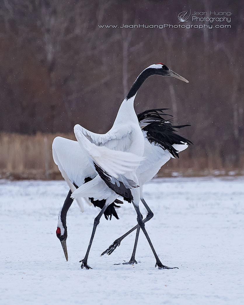 Red-Crowned-Crane-Tango-Kushiro-Hokkaido-Japan-Copyright-Jean-Huang-Photography