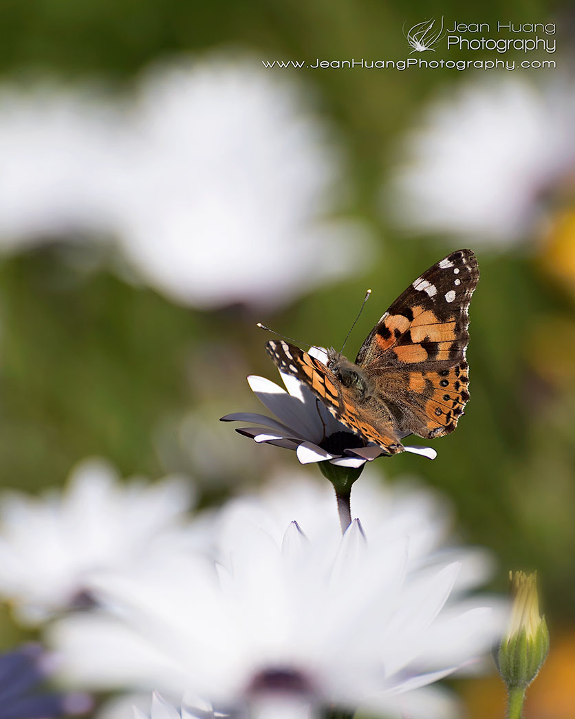 Painted Lady Butterfly - ©Jean Huang Photography