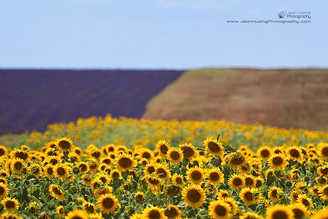 Sunflower-Dreamland-Valensole-Provence-France-Copyright-Jean-Huang-Photography
