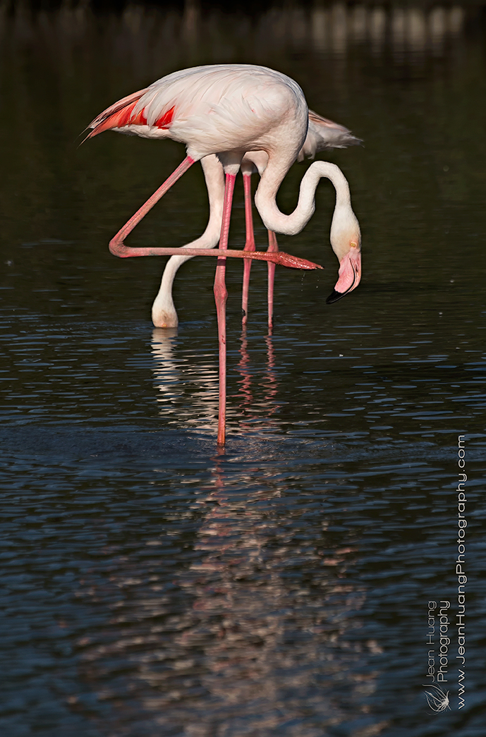 Pink-Flamingo-and-its-Shadow-Camargue-France-Copyright-Jean-Huang-Photography-(2)