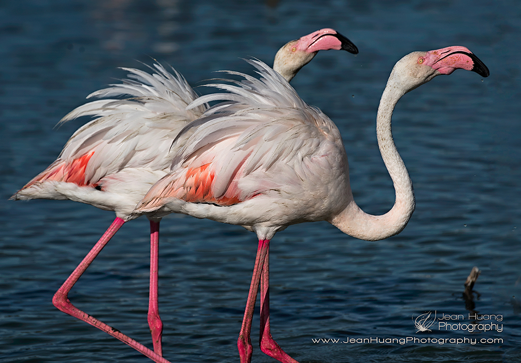 Pink-Flamingo-and-its-Shadow-Camargue-France-Copyright-Jean-Huang-Photography-(1)