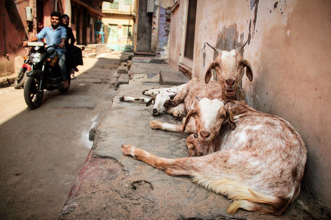 With my masala man musk, goats all be flirting with me. I still got it!!!;)— in  Calcutta, India .
