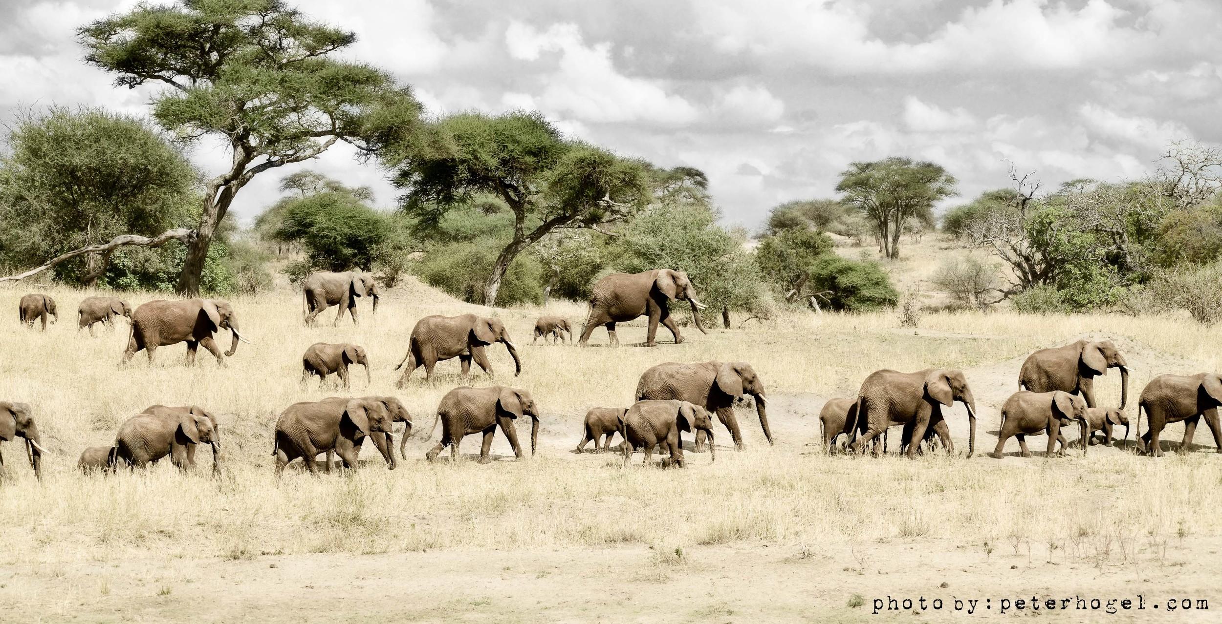 PeterHogel - DSC_7365 - Elephants Marching - 1.5MB - VK adj LTR.jpg