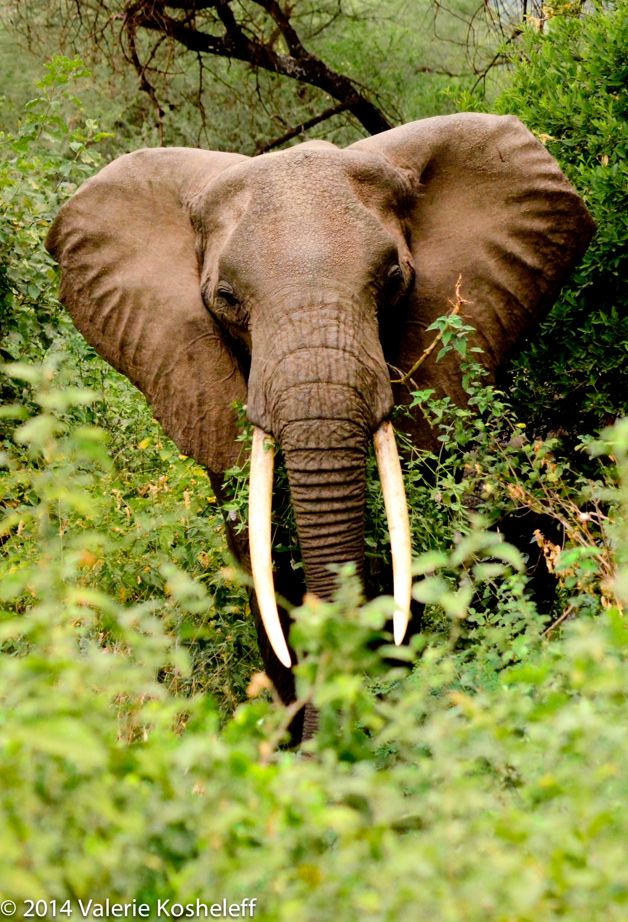 TZA_5194***Elephant Peering from Bushes_LTR_100%_4x6_WTRMK.jpg