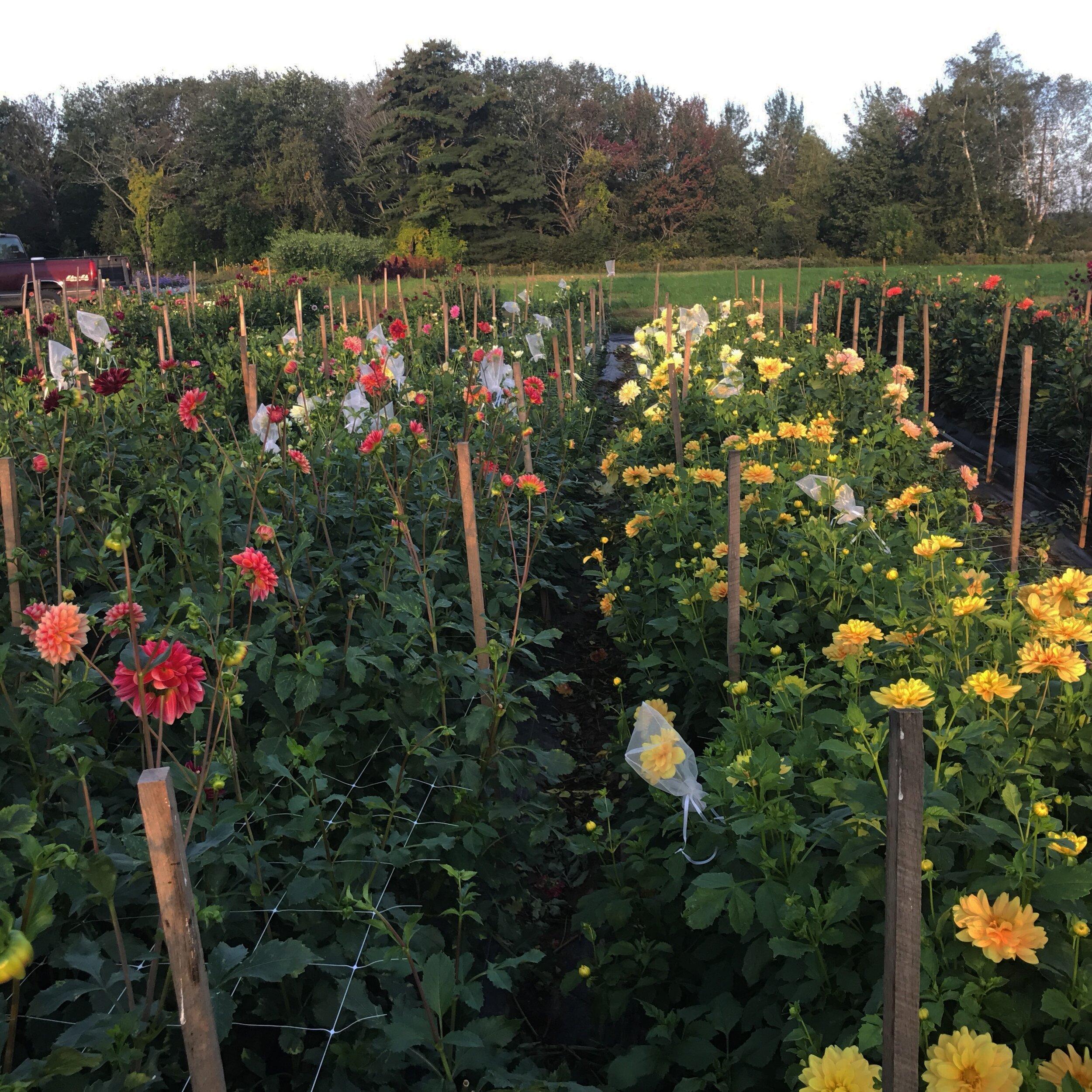Growing Dahlias Guide East Of Eden Flower Farm