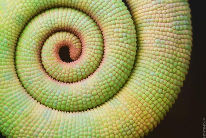 Chameleon-Tail_670.jpg