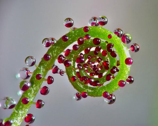 Drosophyllum-Lusitanicum_670.jpg