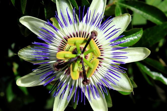 Passiflora-Caerulea_670.jpg