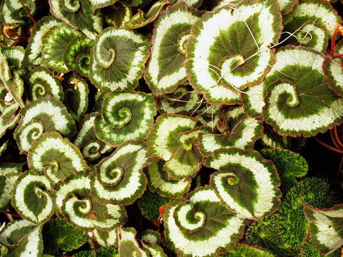 Spiral-Begonia_670.jpg