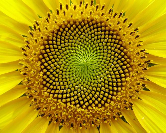 Sunflower_670.jpg