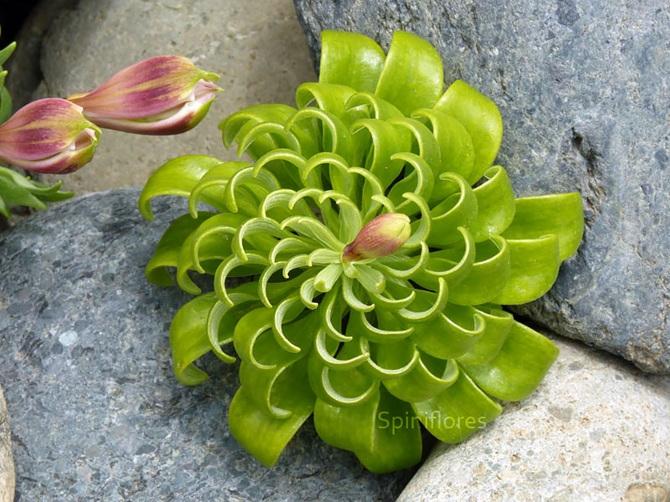 Alstroemeria-Pelegrina_670.jpg