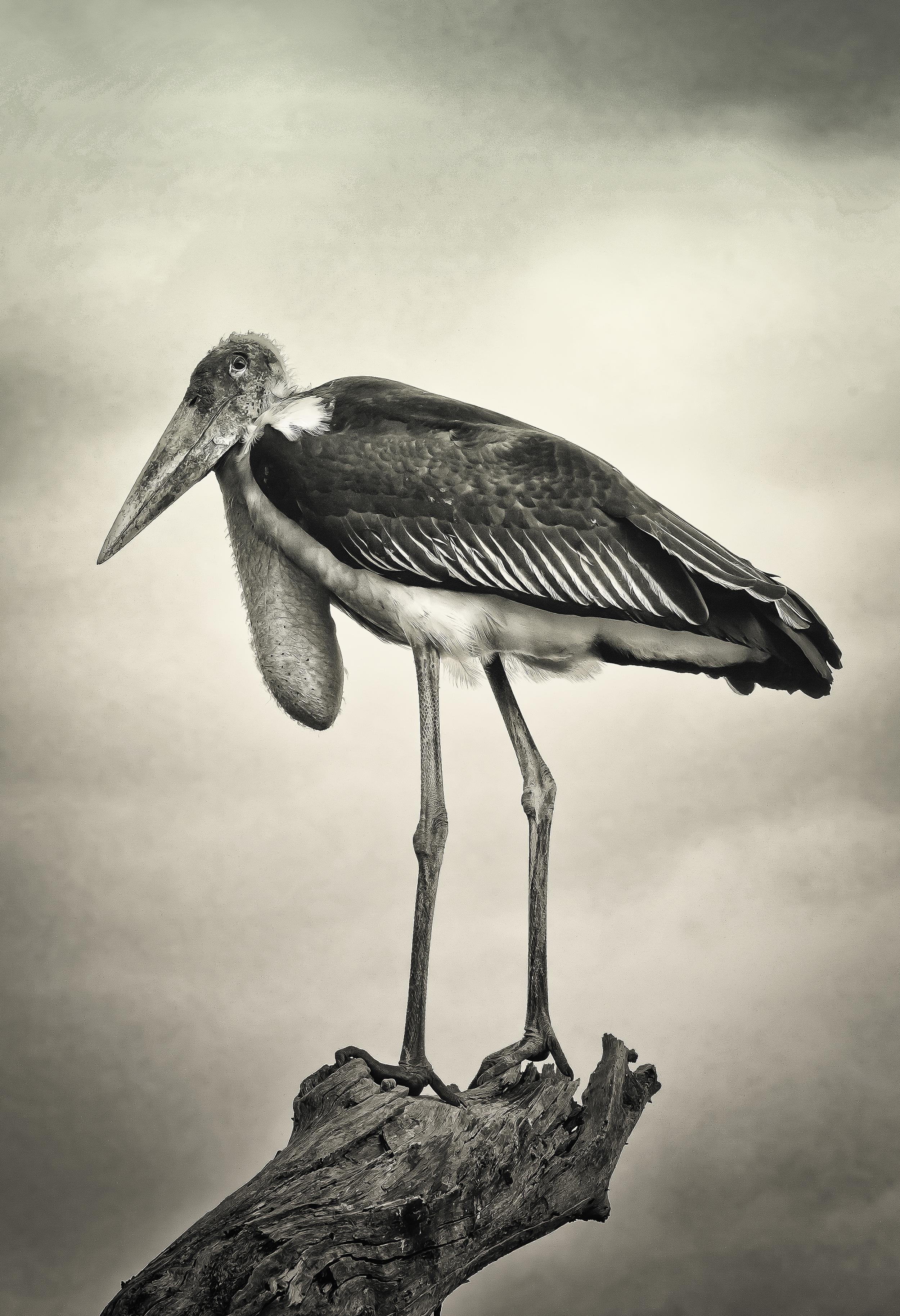 """Marabou Stork """"Humphrey"""""""