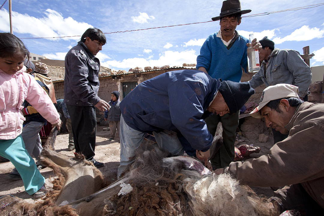 After killing the llamas, the men break down the animals.