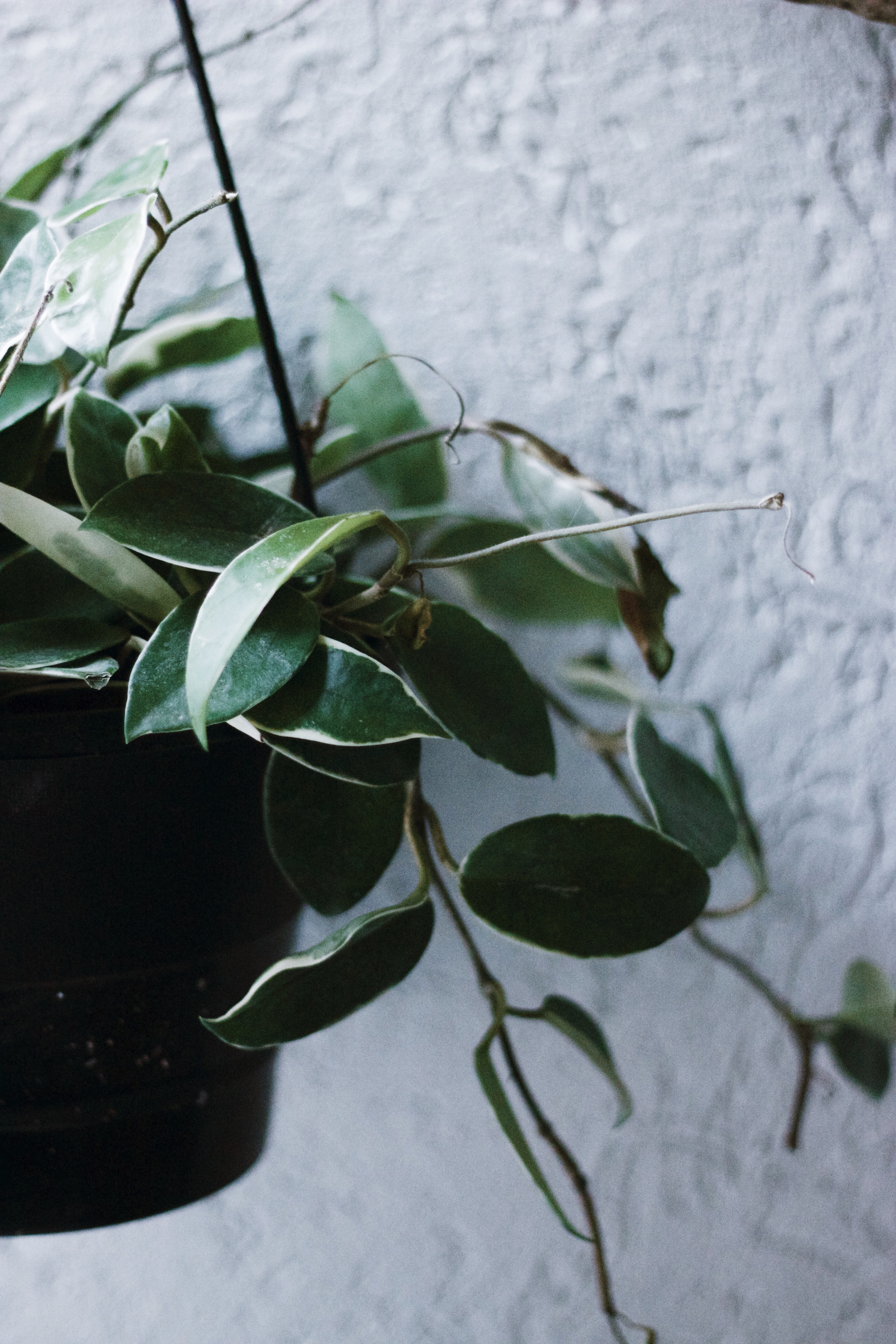A variegated plant that I like but I don't know the name of. Do you? Leave it in the comments so I can be free of wonder.