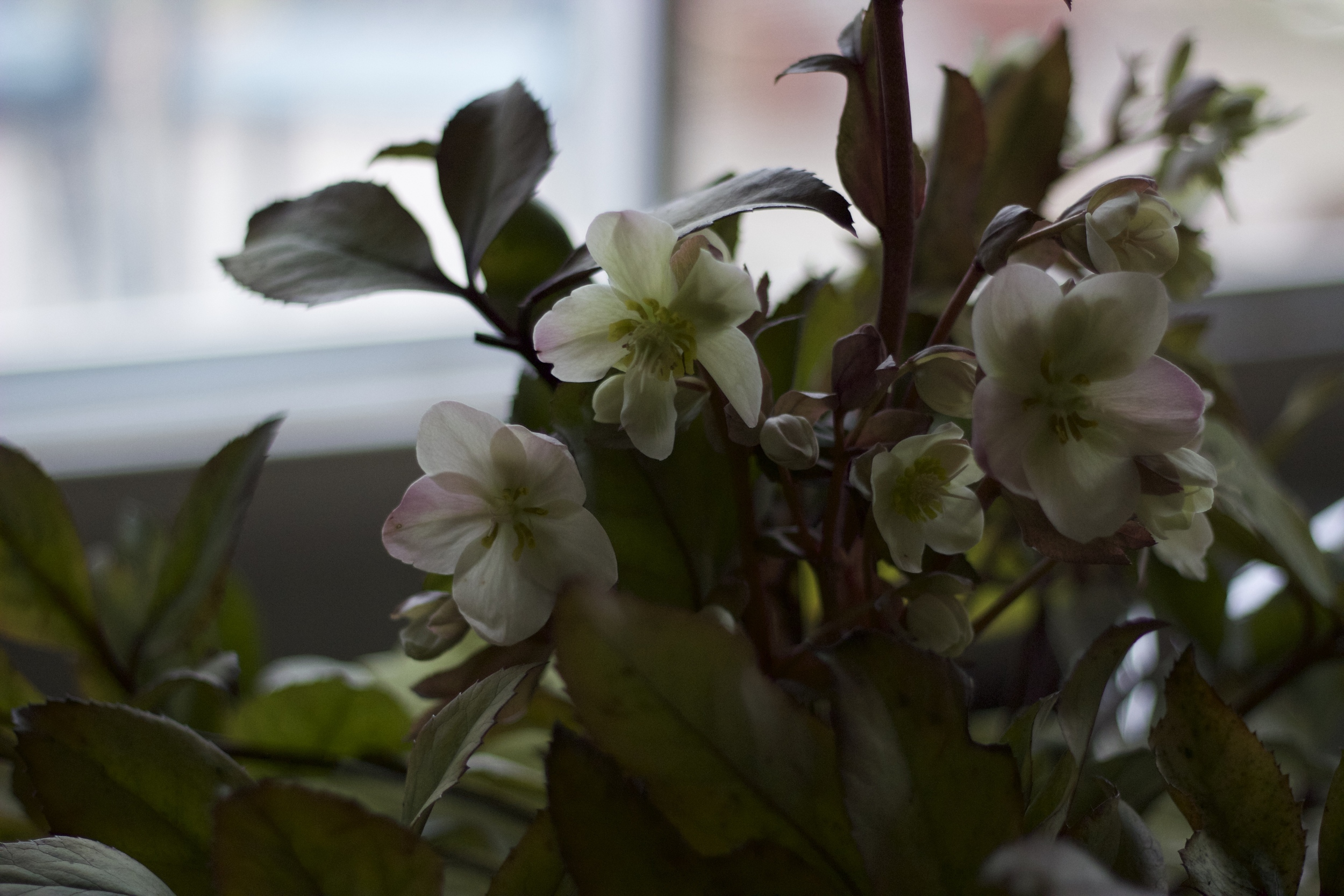 moody hellebores. My favourite.