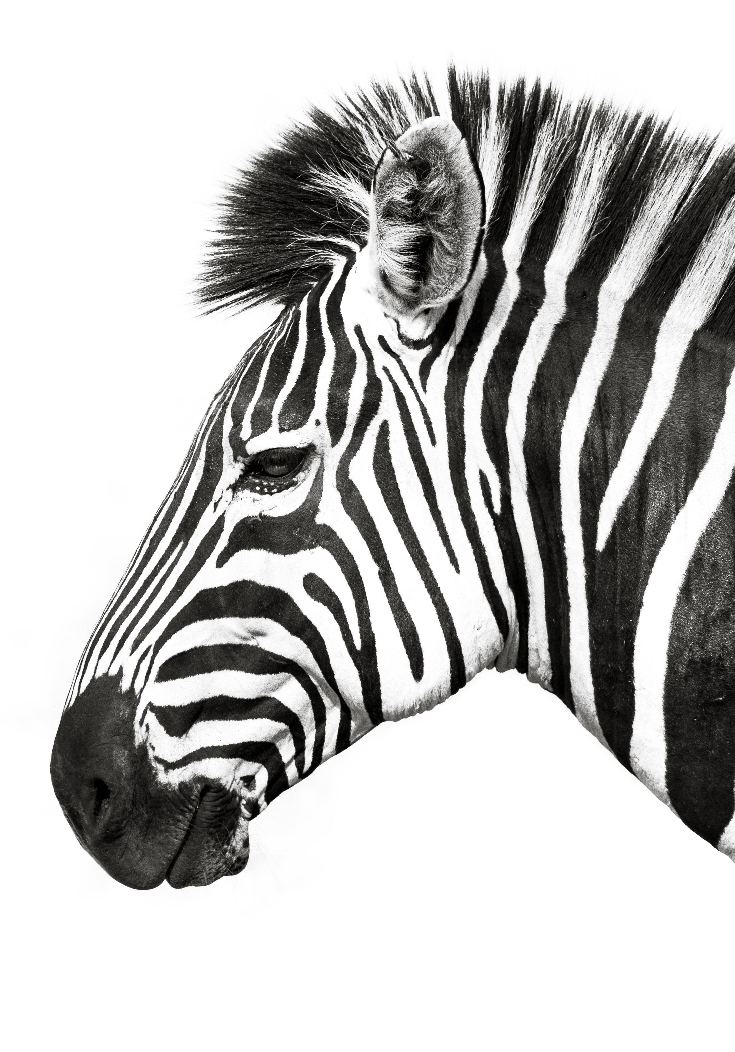 janaina matarazzo_zebra portrait_showcase.jpg