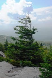 red spruce.jpg