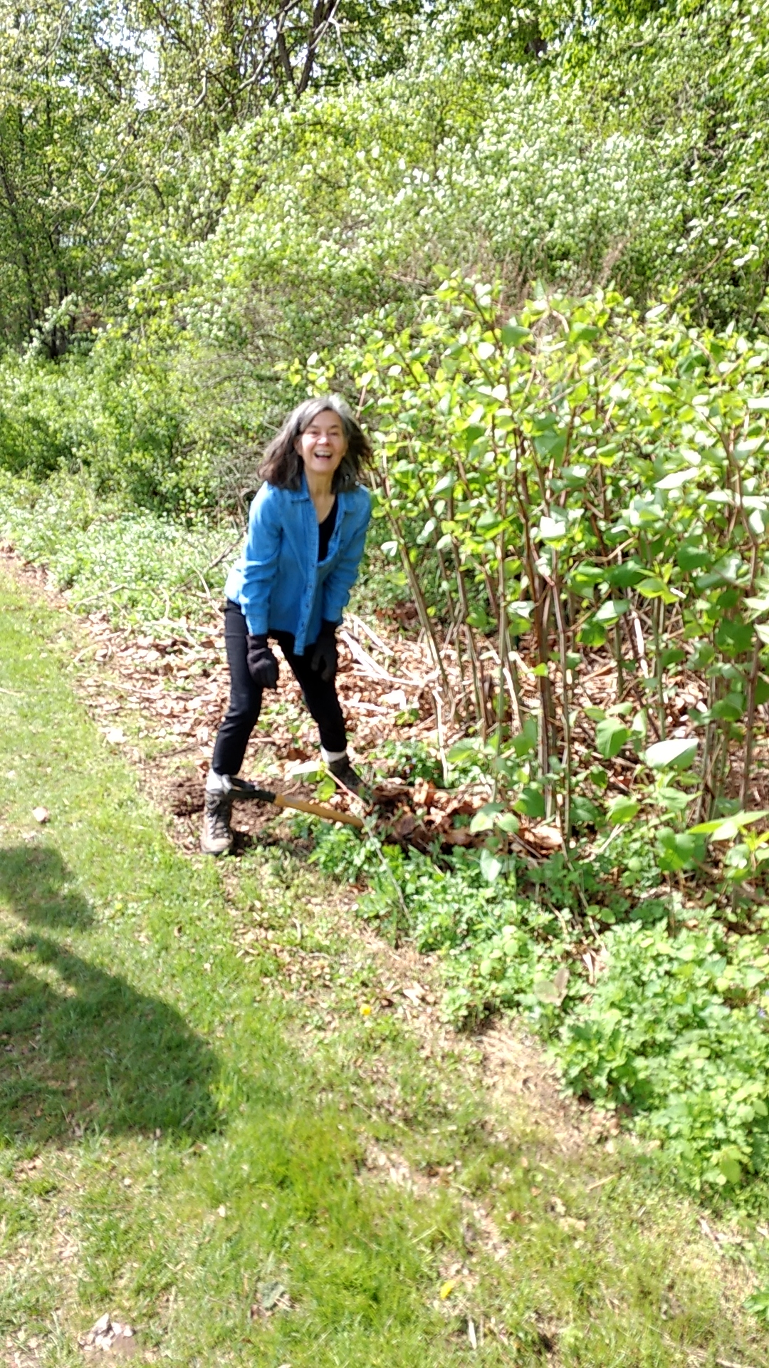 Susan Mayr digging out knotweed - image by Dan Snider