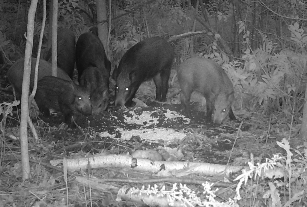 The feral pigs plaguing parts of upstate New York are almost never seen in daylight, but a pack was caught on camera while foraging on a farm in Peru, N.Y., after dark.  Photo credit: New York State Department of Environmental Conservation