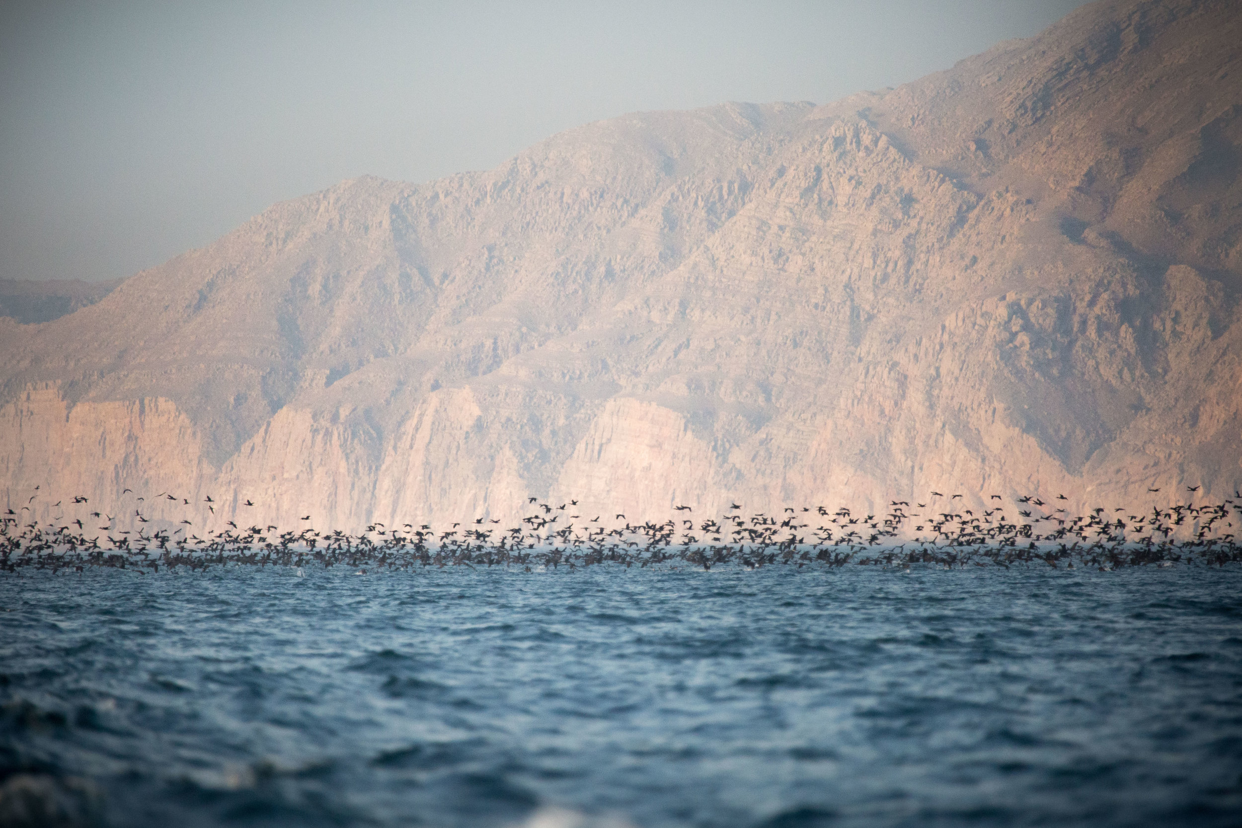 A flock of Socotra cormorants feeding near the Khasab shore.jpg