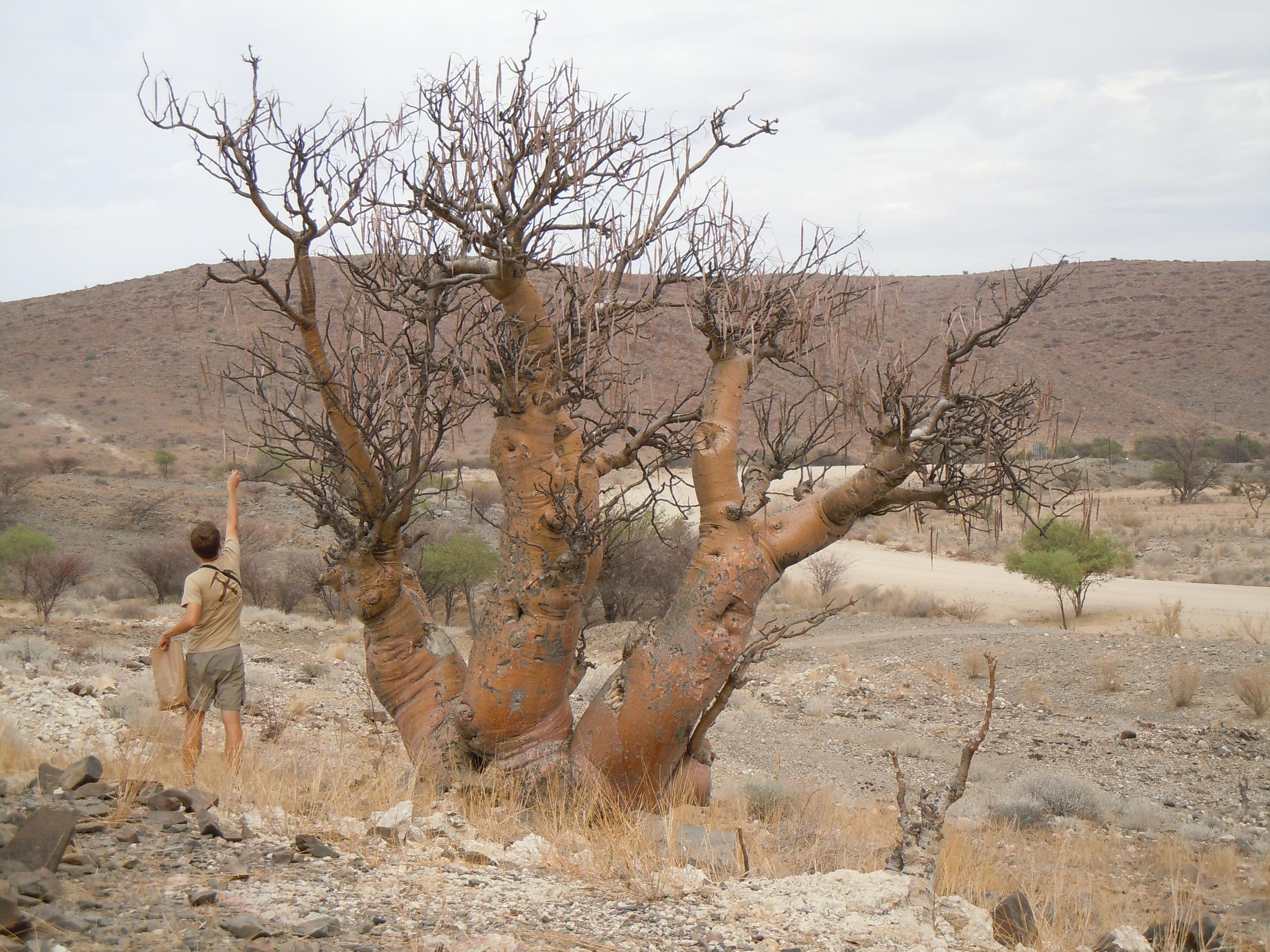 Moringa ovalifolia