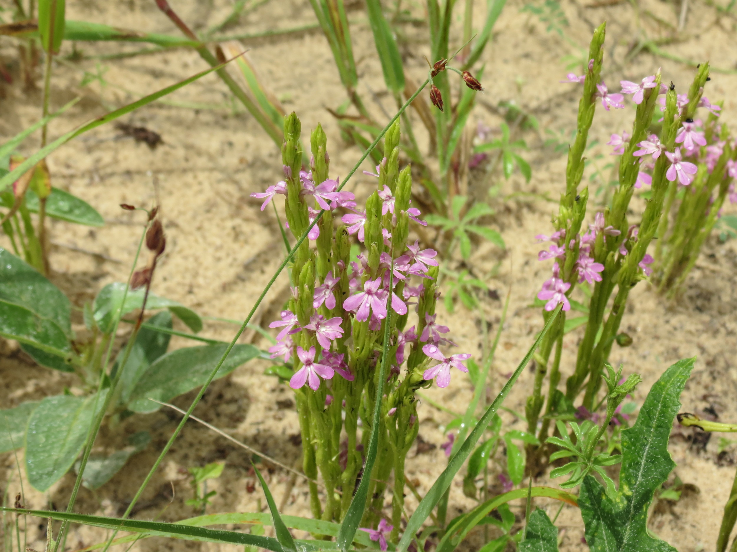 Parasitic plant